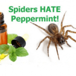 Keeping Spiders Away With Peppermint Oil