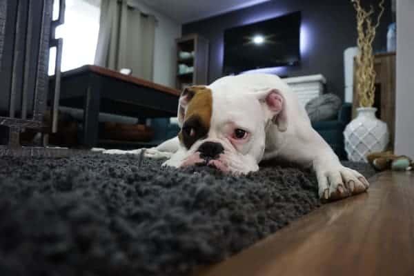 Best Carpet Deodorizer, pic of pet dog